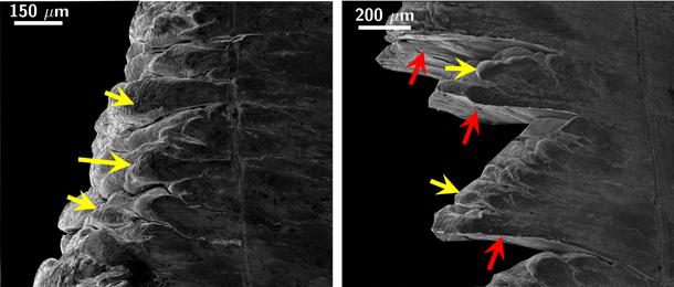 Designer surface-active media induce embrittlement in ductile and highly strain-hardening metals. Machining chip obtained without and with application of surface-active media: yellow arrows indicate folds in the chip, red arrows indicate media induced cracks.